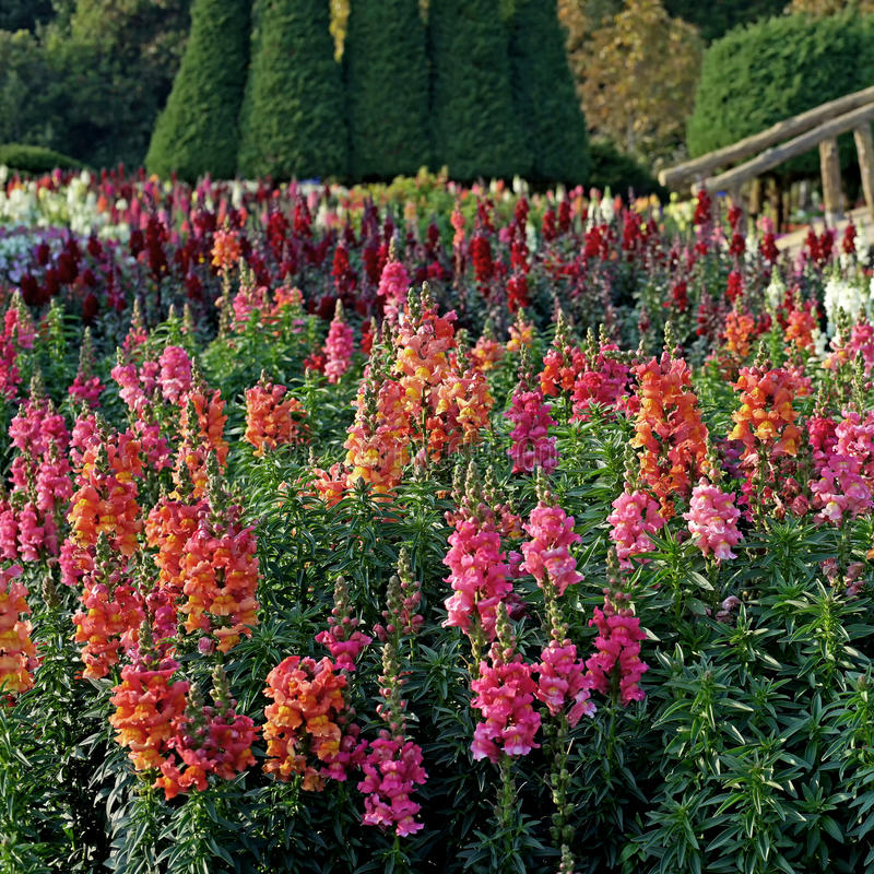 Free Salvia Flower In The Garden Stock Photos - 69289753
