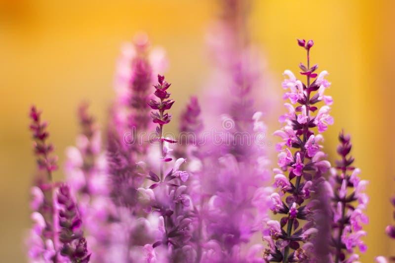 Salvia Flowers Free Public Domain Cc0 Image