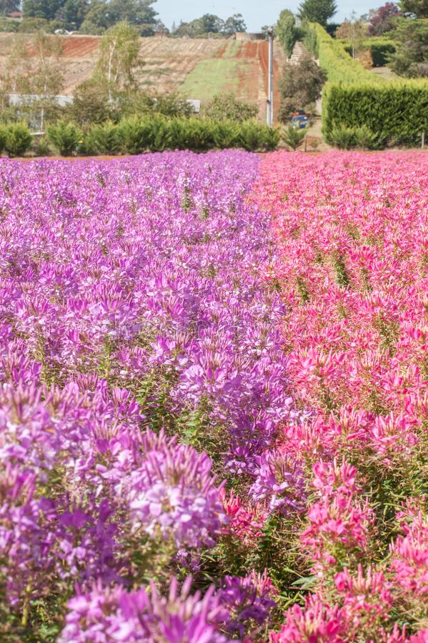 Salvia Flowers. At the Kabloom flower festival near Melbourne Australia stock photo