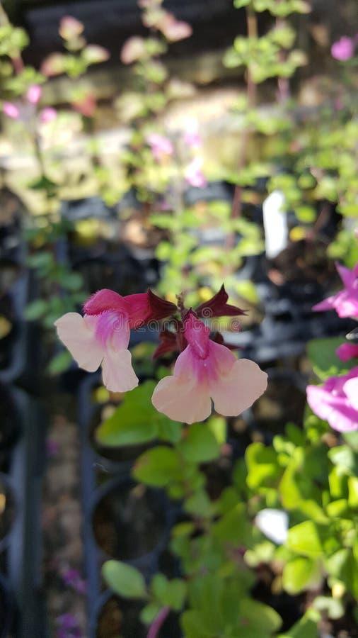 Salvia. Great Comp Garden stock photography