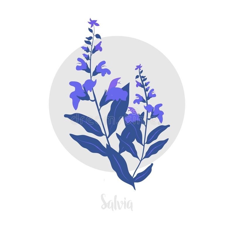 Salvia herbaceous plant. Twig of fresh Blossoming spicy herb. Vector illustration. royalty free stock image