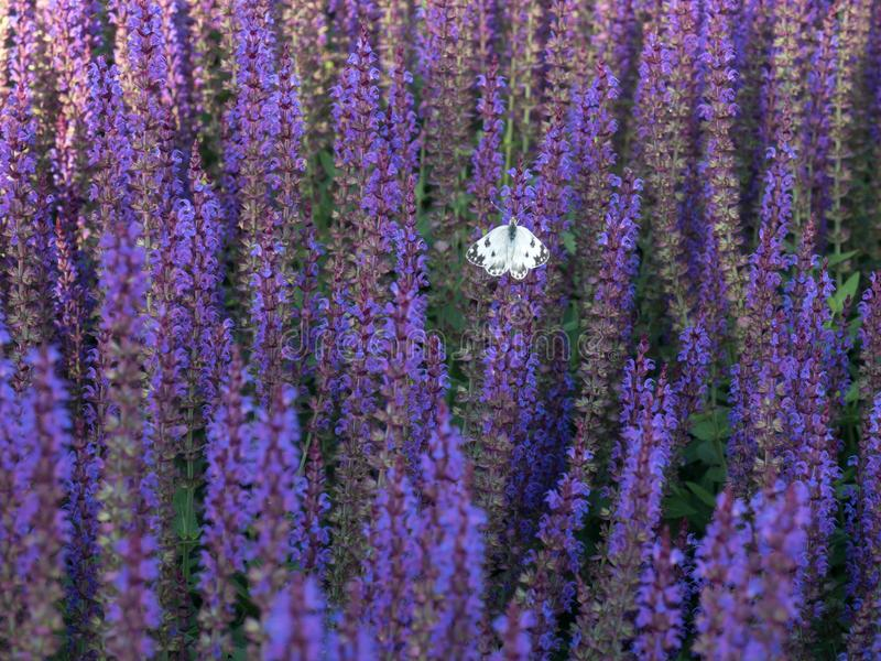 Salvia lilac and butterfly sitting on it stock image