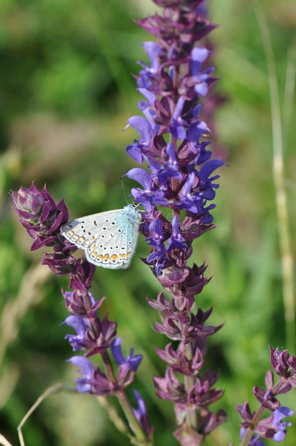 Salvia med fjärilen royaltyfri bild
