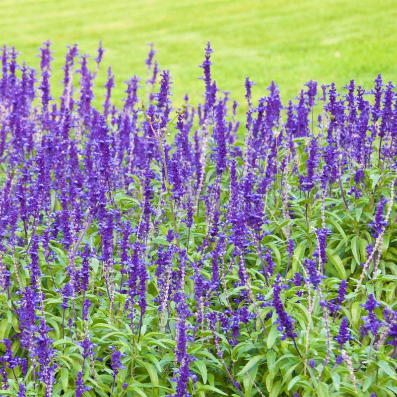 Salvia messicana del cespuglio che fiorisce nel parco in Croazia fotografia stock