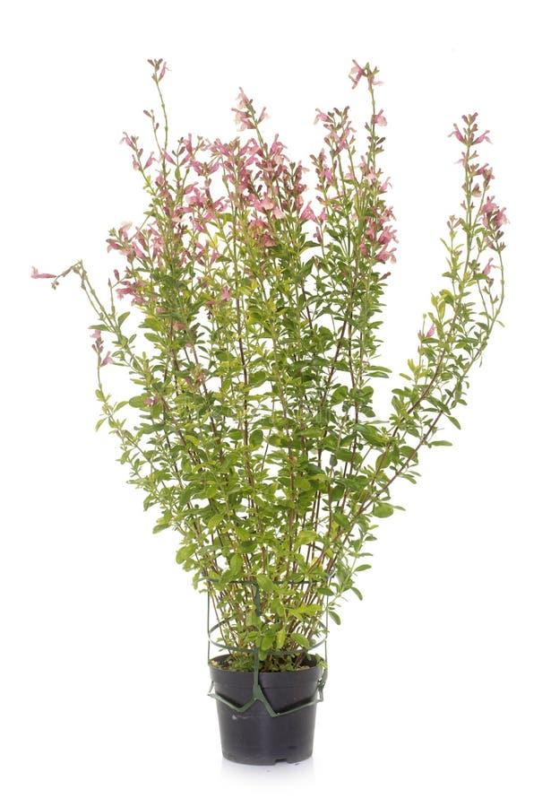 Salvia microphylla i studio royaltyfri foto