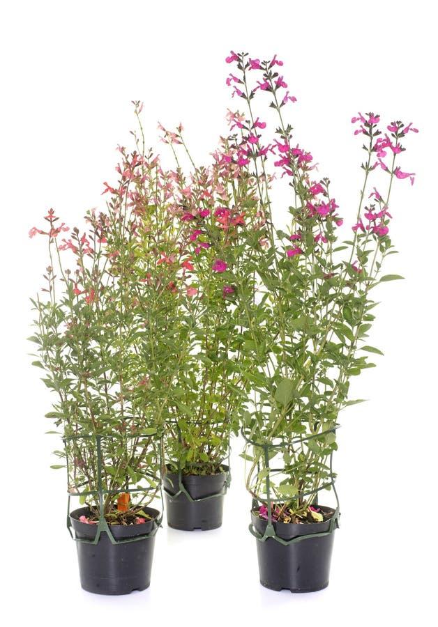 Salvia microphylla i studio royaltyfria foton