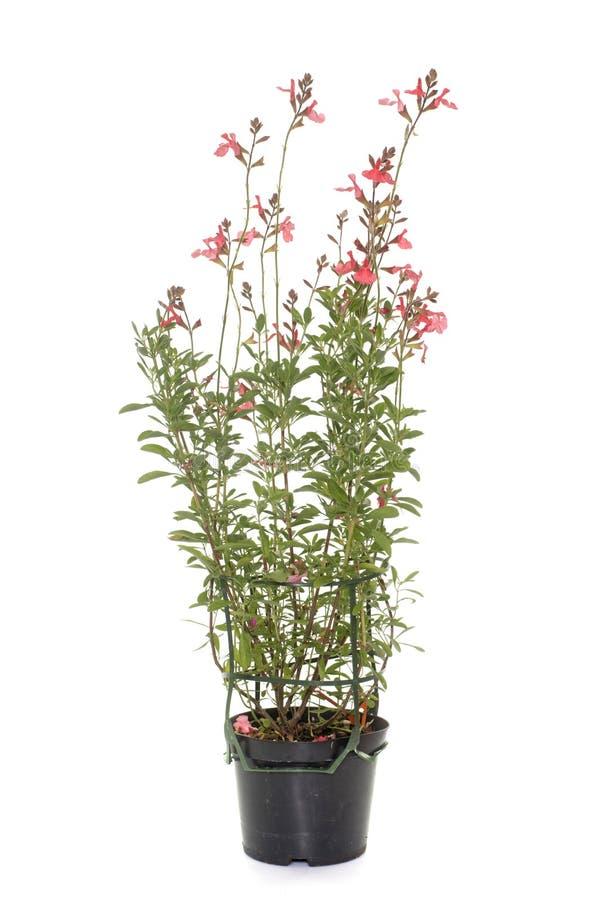Salvia microphylla i studio royaltyfri bild