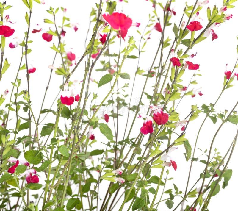 Salvia microphylla i studio arkivbild
