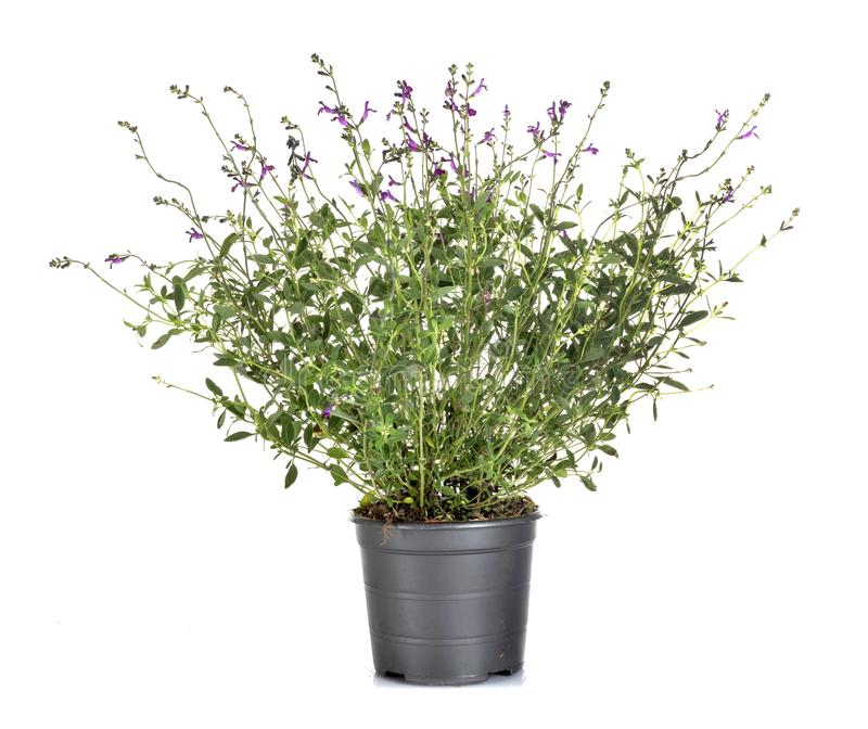 Salvia microphylla i studio royaltyfri fotografi