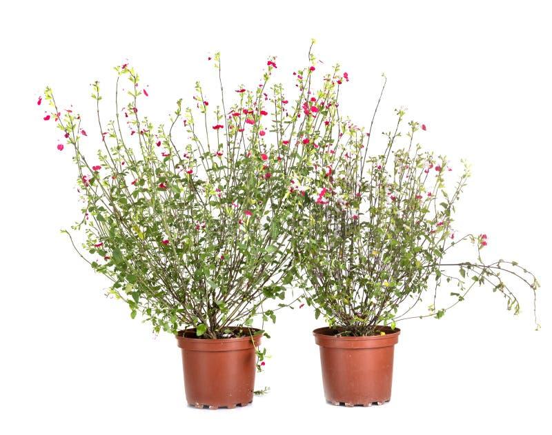 Salvia microphylla i studio royaltyfria bilder
