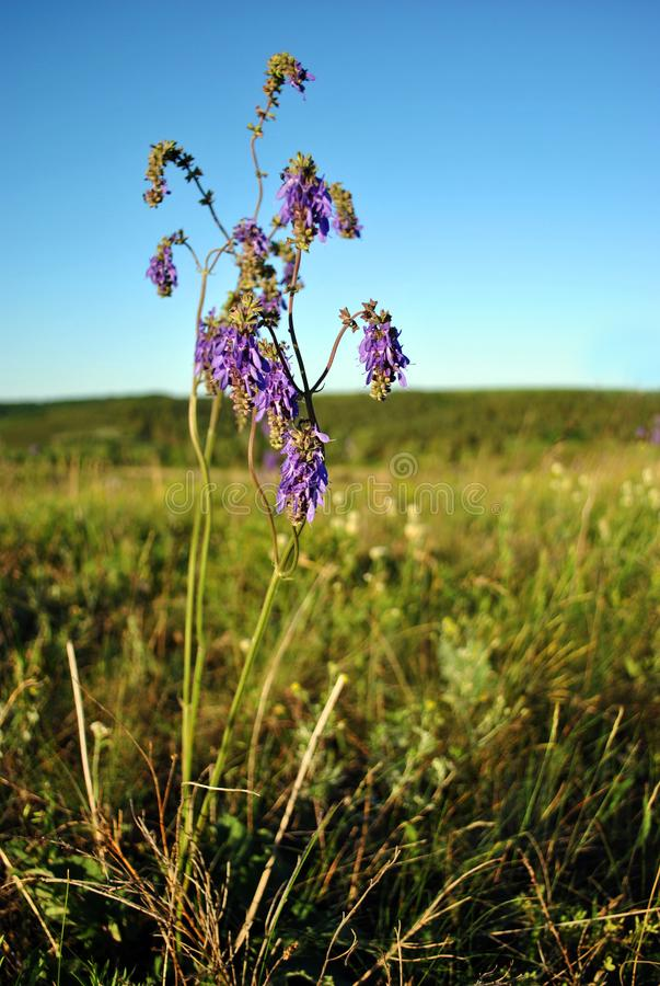 Salvia nutans bloeiende purpere bloem op groen gras en blauwe hemel stock foto