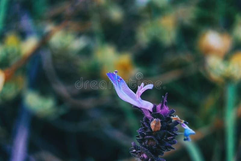 salvia officinalis一朵紫色花的细节  免版税库存图片