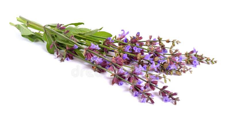 Salvia officinalis stockbild