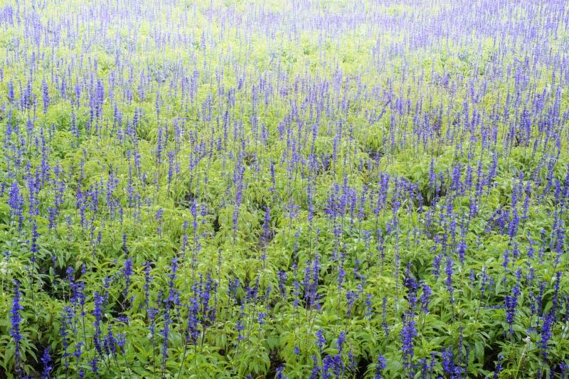Salvia officinalis stockfotografie