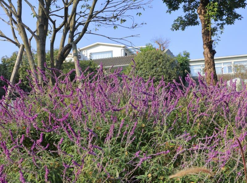 Salvia officinalis bredvid huset, Adobe rgb arkivfoton