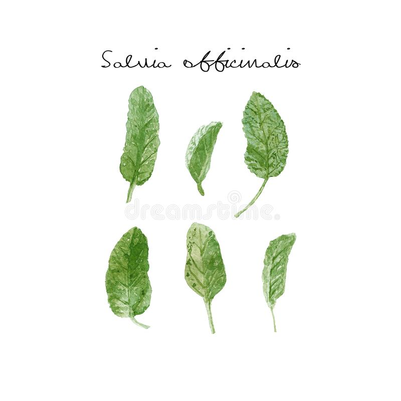 Salvia officinalis or garden sage. Sage single leaves close up isolated on white background. Watercolor illustration. Fresh green sage single leaves close up stock illustration