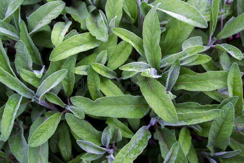 Salvia-officinalis mit grünen Blättern ist ein großer Busch Zurück von den Blättern des Salbeis stockfotos