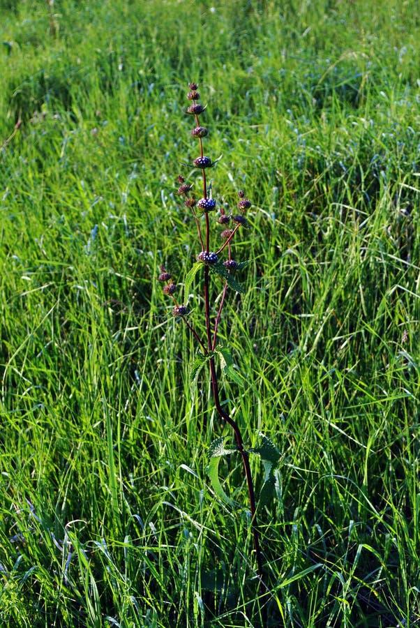 Salvia officinalis pink flowers, emerald green grass background. Salvia officinalis pink flowers, bright emerald green grass background stock images