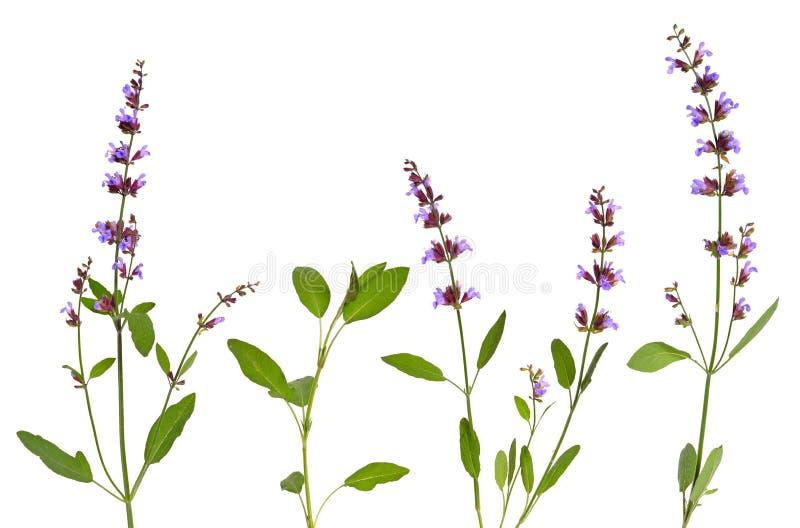 Salvia officinalis planterar vis man som kallas också trädgårds- vis man som är gemensam royaltyfri fotografi