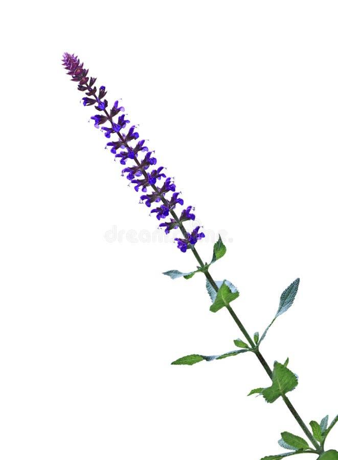 Salvia Pratensis花 免版税库存照片