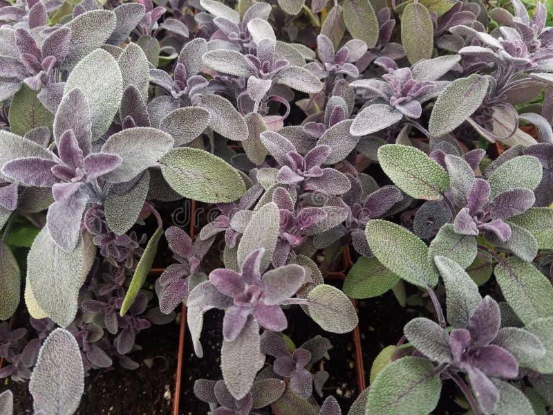 Salvia sabio púrpura de las hierbas imagen de archivo libre de regalías