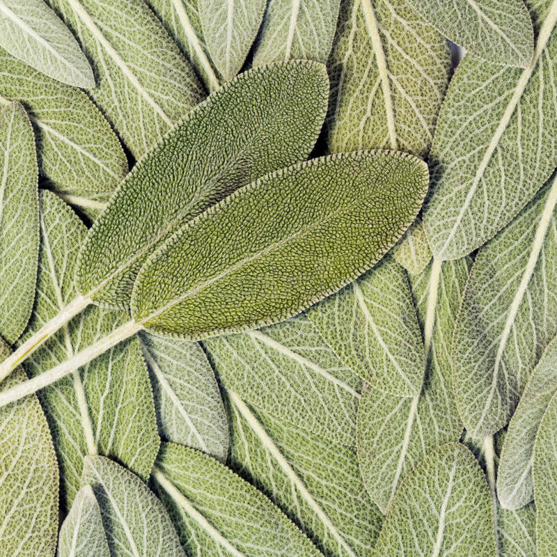 Salvia (sage, also called garden sage, or common sage) stock images
