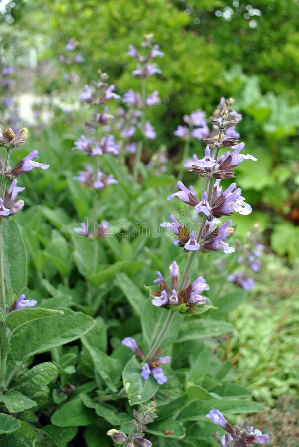 Salvia sage flowering stock photos