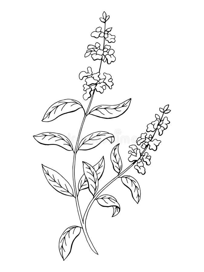 Salvia sage herb flower graphic art black white sketch illustration stock illustration