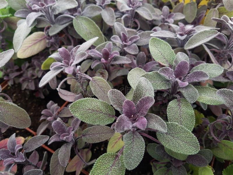 Salvia sage pourpre d'herbes images libres de droits