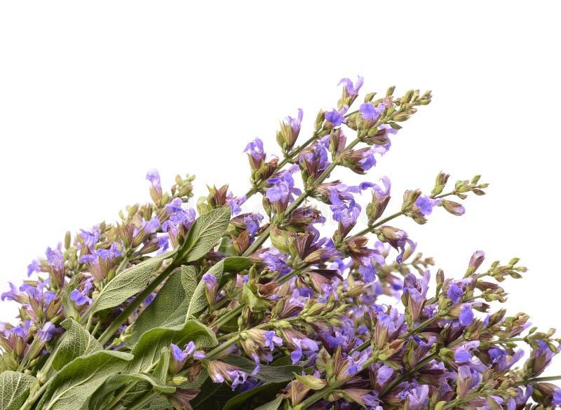 (Salvia sclarea) arkivbild