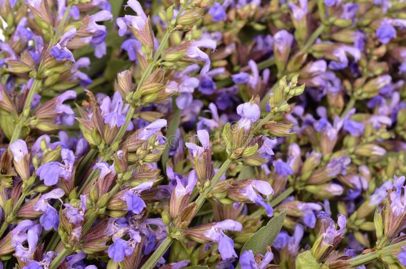 (Salvia sclarea) fotografering för bildbyråer