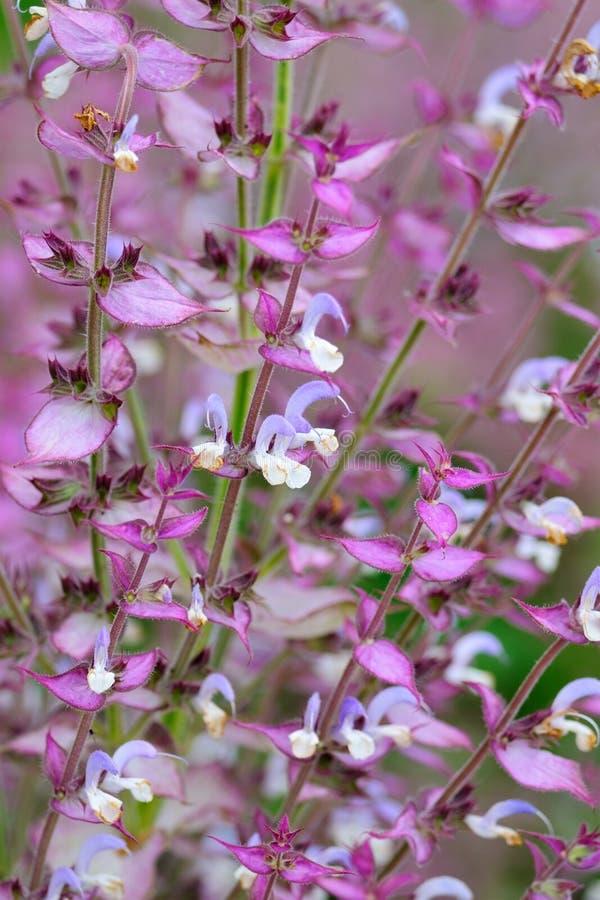 Salvia sclarea flowers. Close up stock images