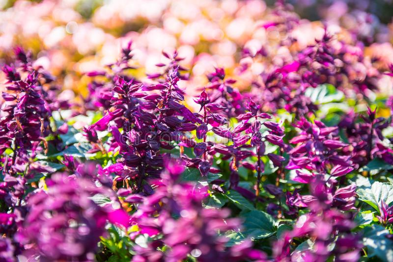 Salvia splendens royaltyfri fotografi