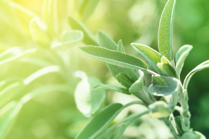 Salvia In Sunny Early Spring Garden fotos de stock royalty free