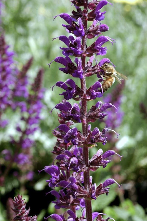 Salvia x sylvestris May Night stock photos