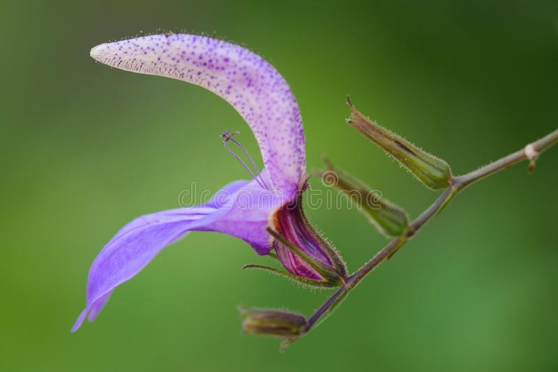 Salvia tropical gigante foto de stock royalty free