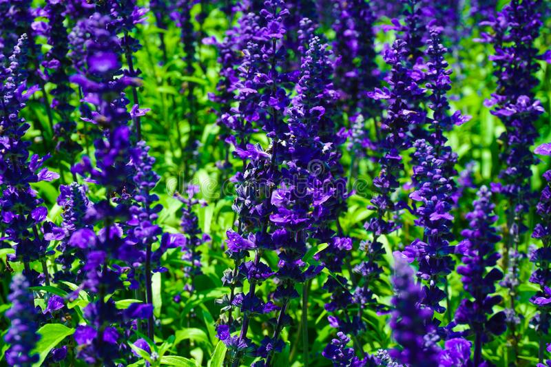 A salvia victoria blue flower with purple or violet color in park with macro or close up - photo. Indonesia stock images
