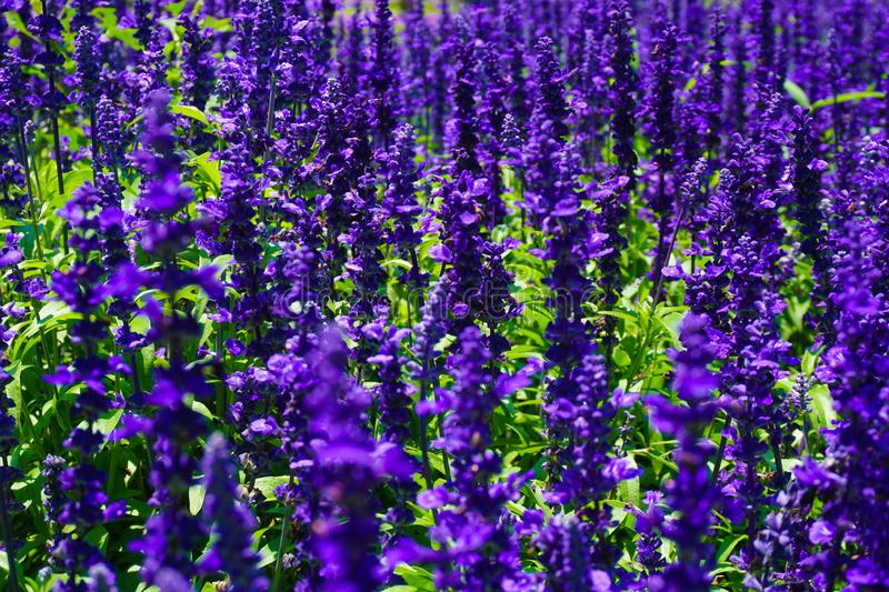 A salvia victoria blue flower with purple or violet color in park with macro or close up - photo. Indonesia stock photo