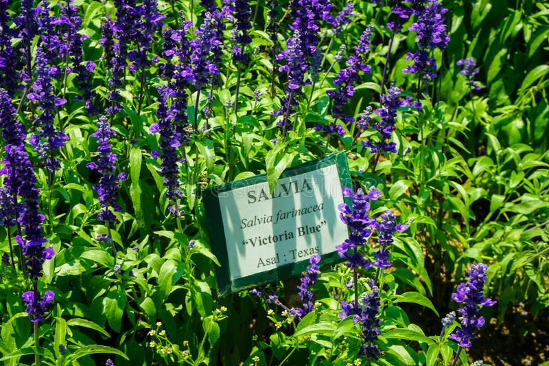 A salvia victoria blue flower with purple or violet color in park with name tag sign board - photo. Indonesia stock image