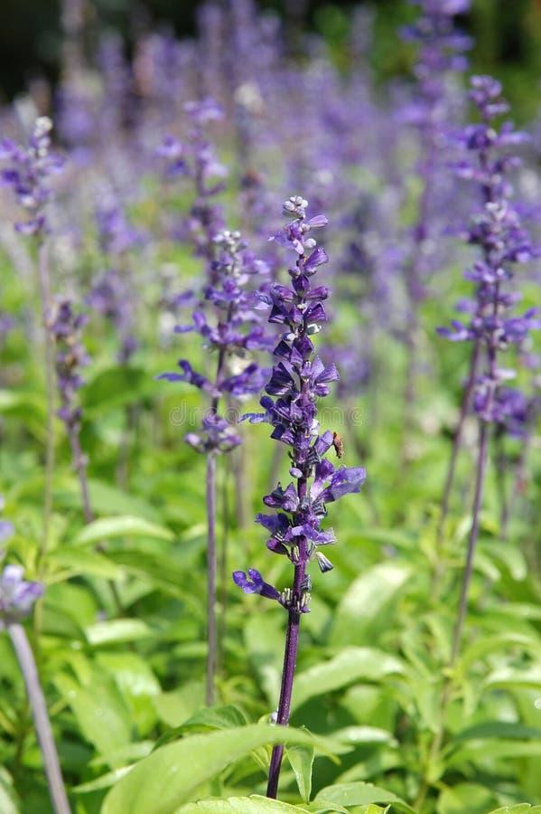 Salvia viola fotografia stock