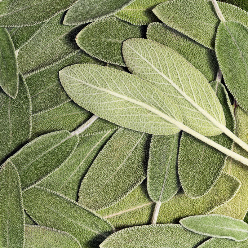 Salvia (vis man som kallas också trädgårds- vis man eller gemensam vis man) arkivbild