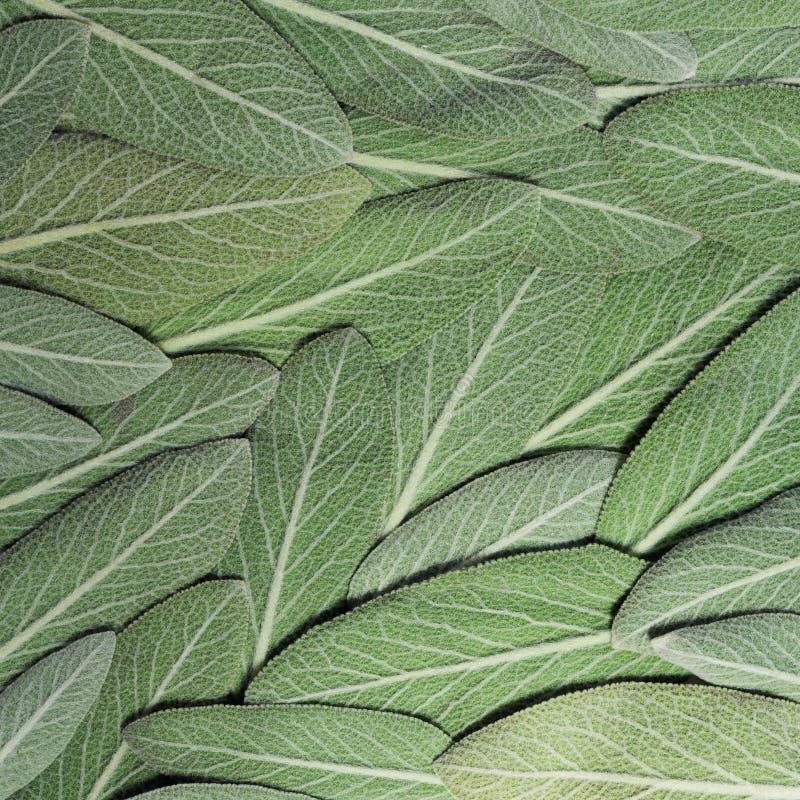 Salvia vis man som kallas också trädgårds- vis man eller gemensam vis man fotografering för bildbyråer