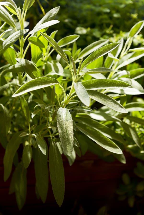 Salvia vis växt i örtagård royaltyfri bild
