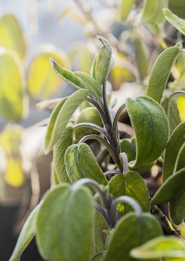 Salvia vis växt i vår royaltyfria foton