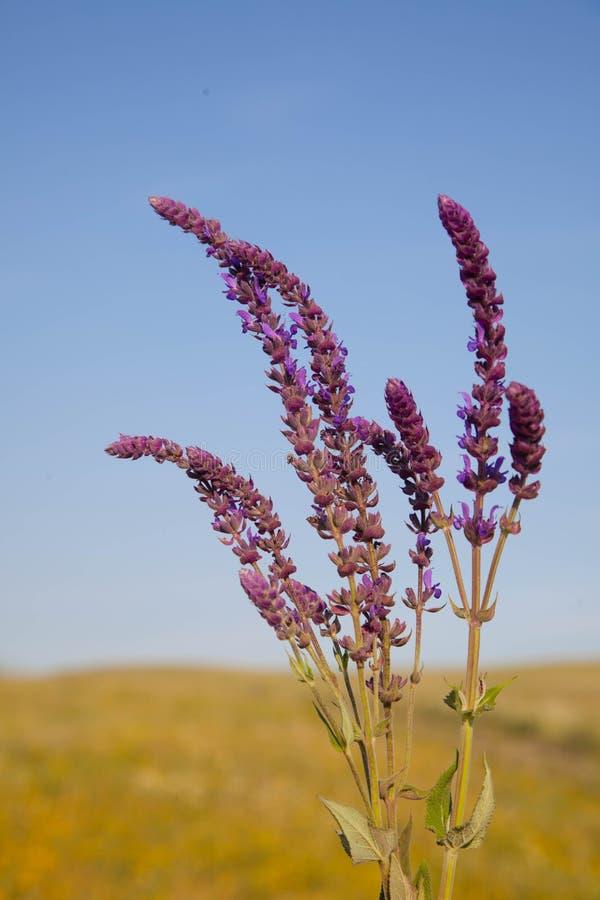 Salviabloemen op hemelachtergrond stock afbeelding