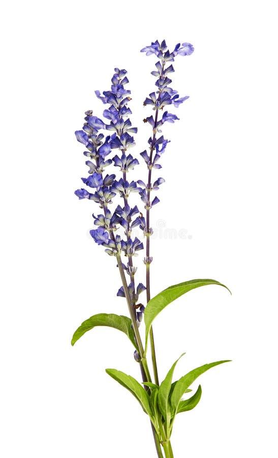 Salviafarinacea, Blauwe salvia die op witte achtergrond wordt geïsoleerd royalty-vrije stock foto's