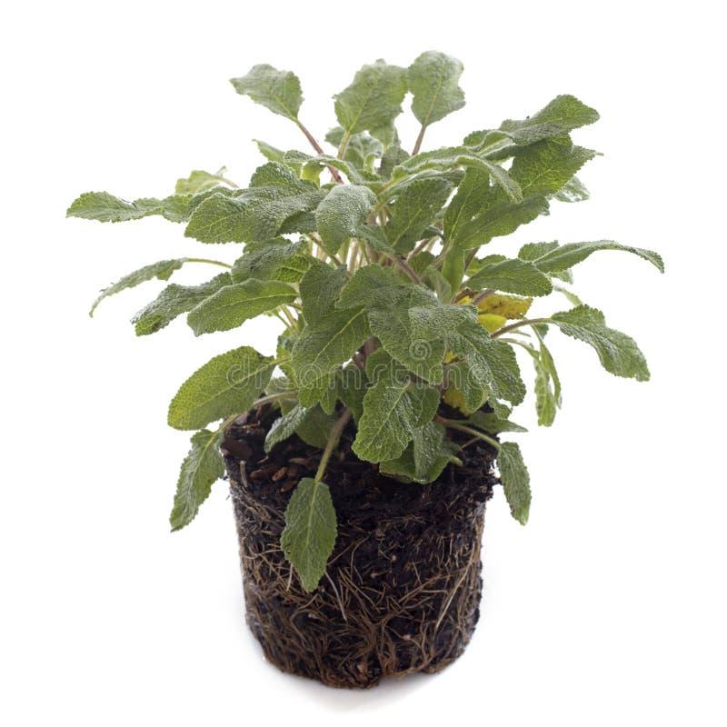Salviaofficinalis stock afbeelding