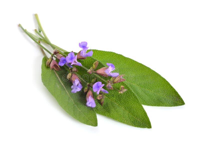 Salviaofficinalis, tuin wijze of culinaire salie op wh royalty-vrije stock afbeelding