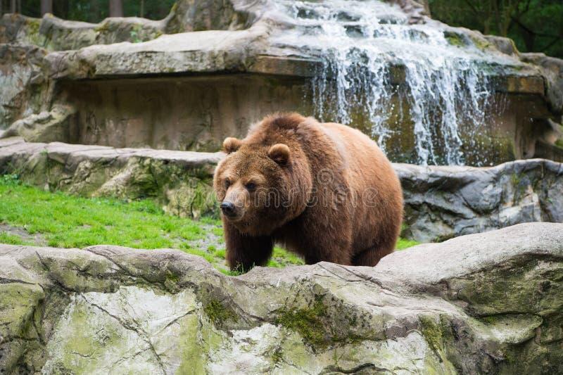 Salvo hoje animal Animal selvagem da família do urso no ambiente natural Espécie selvagem do urso Urso de Brown na natureza fotos de stock