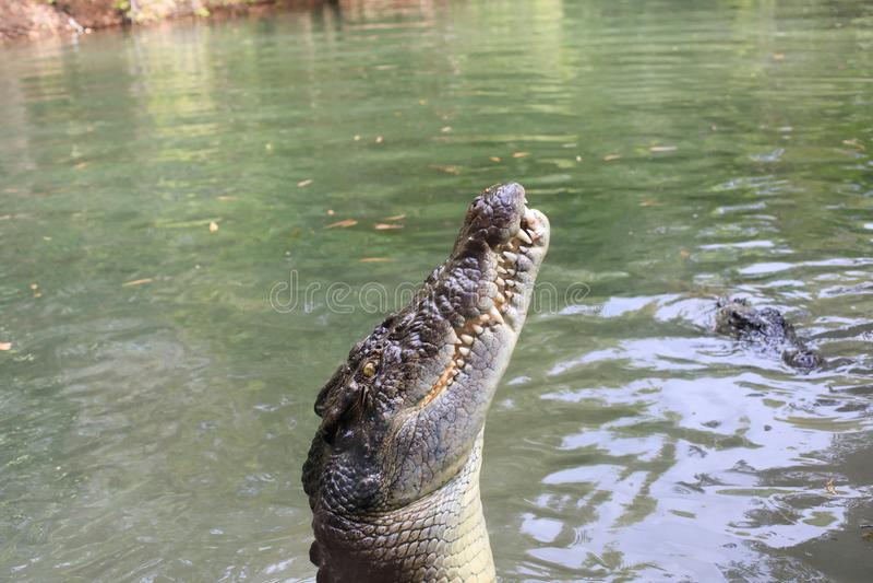 Salzwasser-Krokodile lizenzfreie stockfotografie